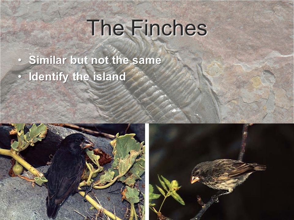 The Finches Similar but not the sameSimilar but not the same Identify the islandIdentify the island