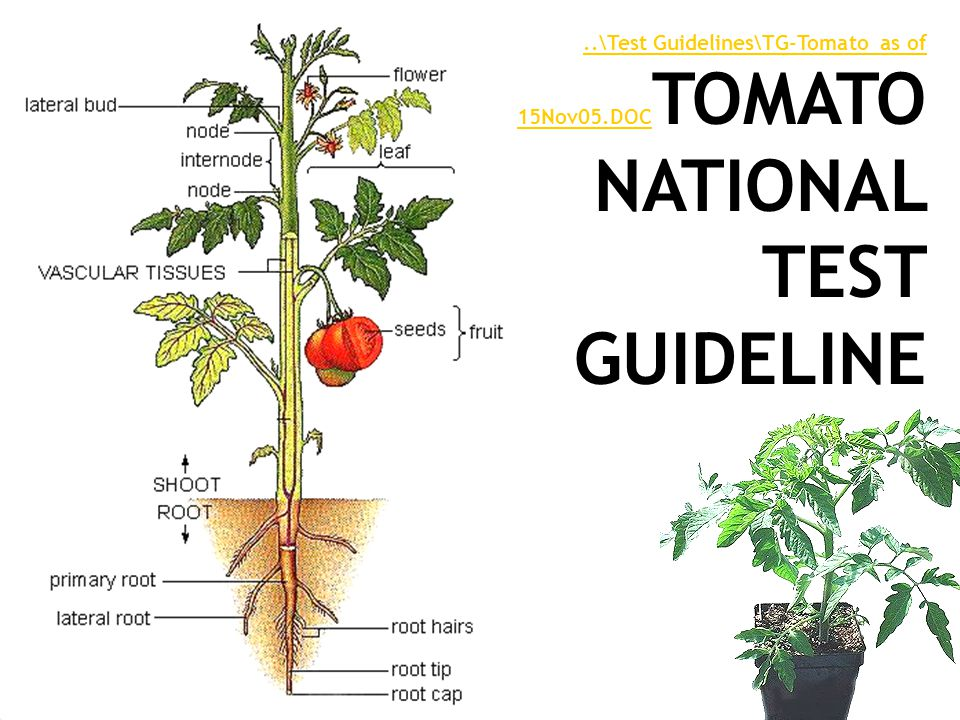 ..\Test Guidelines\TG-Tomato as of 15Nov05.DOC..\Test Guidelines\TG-Tomato as of 15Nov05.DOC TOMATO NATIONAL TEST GUIDELINE