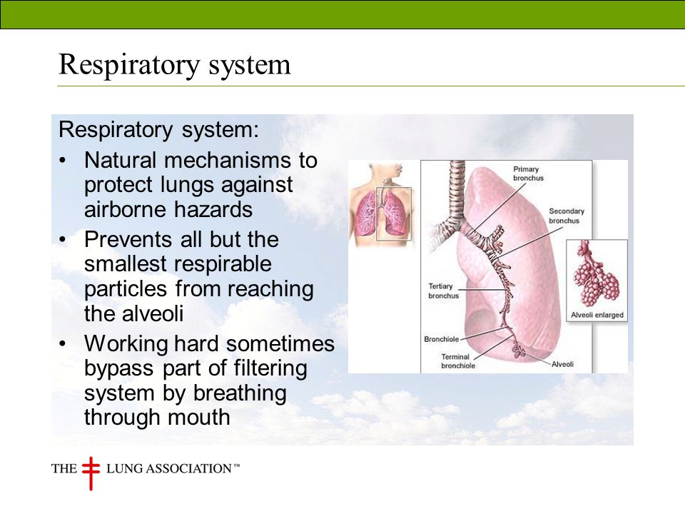 Respiratory system Respiratory system: Natural mechanisms to protect lungs against airborne hazards Prevents all but the smallest respirable particles from reaching the alveoli Working hard sometimes bypass part of filtering system by breathing through mouth