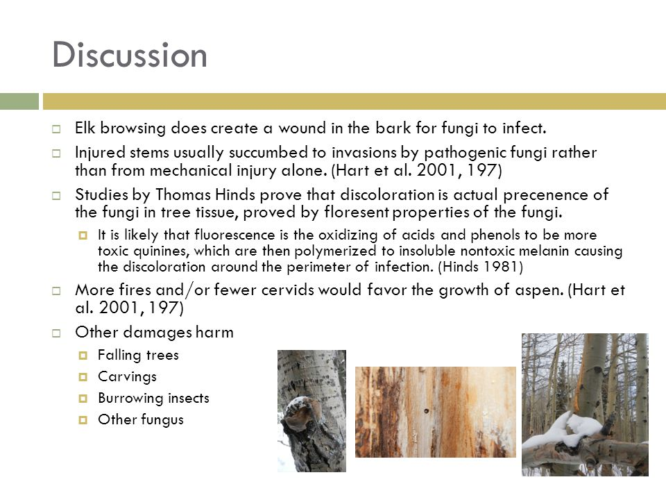 Discussion Elk browsing does create a wound in the bark for fungi to infect.
