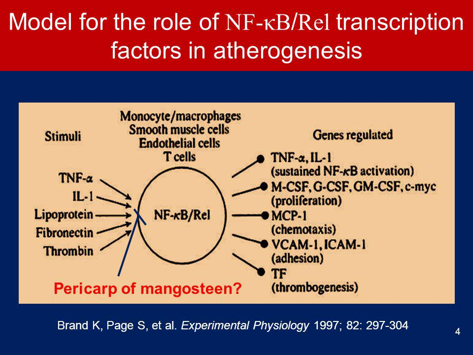 Model for the role of NF-κB / Rel transcription factors in atherogenesis Brand K, Page S, et al.