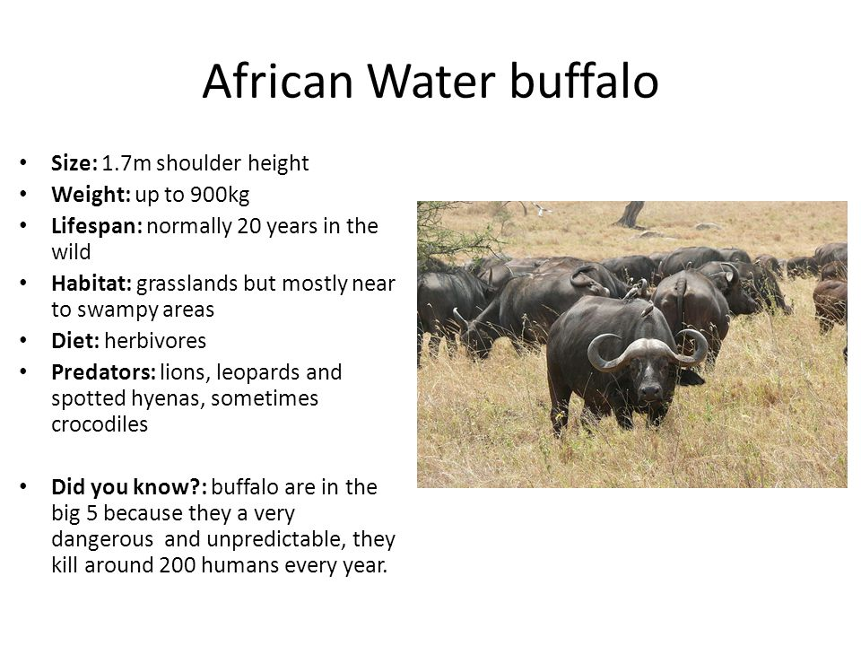 African Water buffalo Size: 1.7m shoulder height Weight: up to 900kg Lifespan: normally 20 years in the wild Habitat: grasslands but mostly near to swampy areas Diet: herbivores Predators: lions, leopards and spotted hyenas, sometimes crocodiles Did you know : buffalo are in the big 5 because they a very dangerous and unpredictable, they kill around 200 humans every year.
