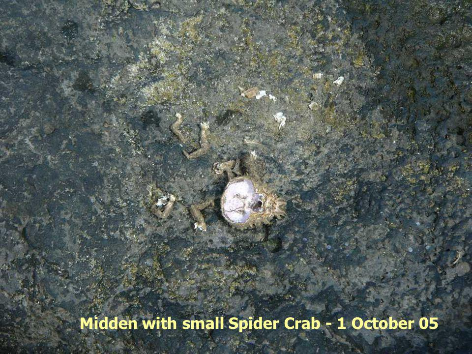 Midden with small Spider Crab - 1 October 05