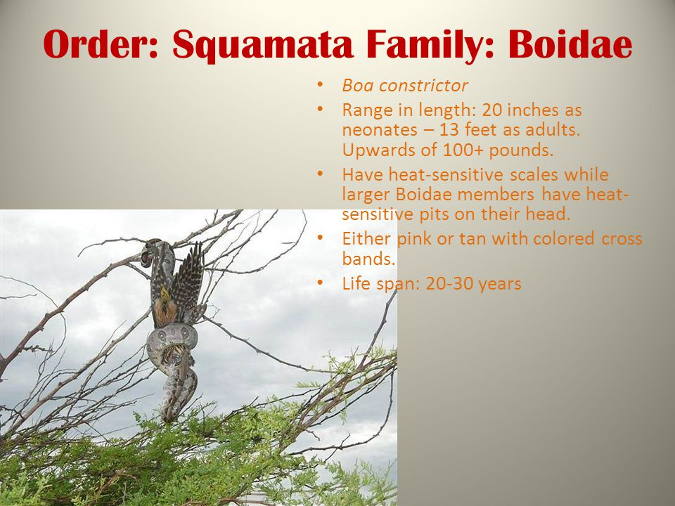 Order: Squamata Family: Boidae Boa constrictor Range in length: 20 inches as neonates – 13 feet as adults.