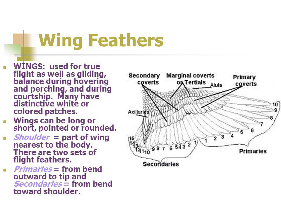 Wing Feathers WINGS: used for true flight as well as gliding, balance during hovering and perching, and during courtship.