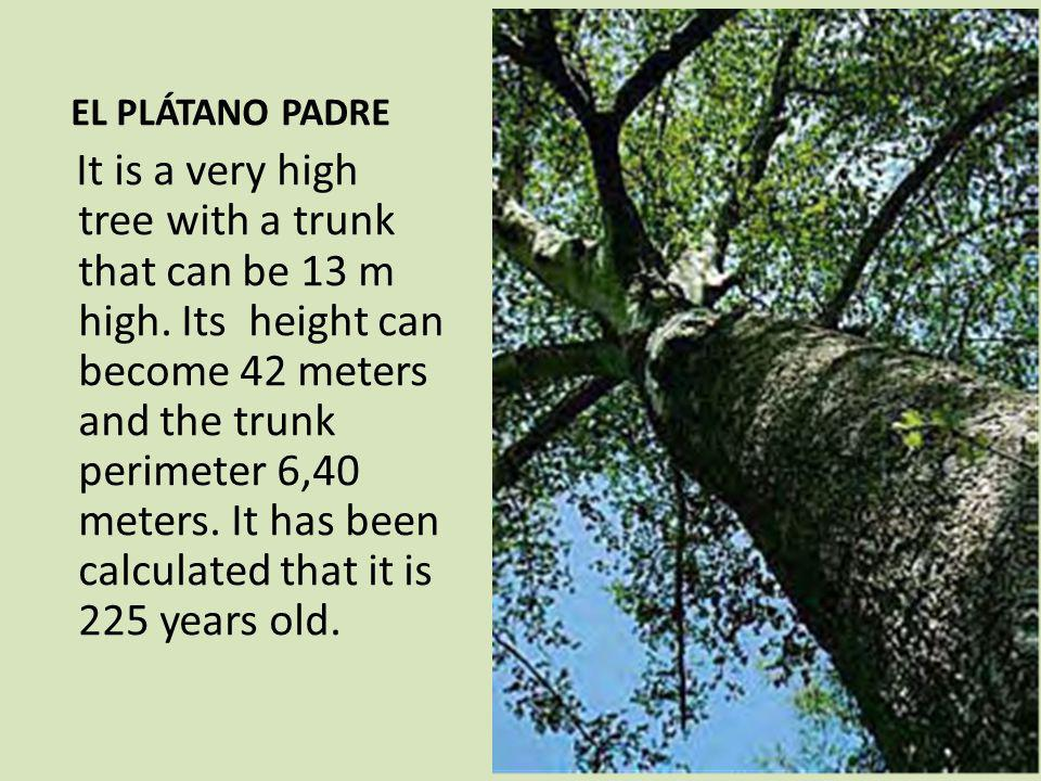 EL PLÁTANO PADRE It is a very high tree with a trunk that can be 13 m high.