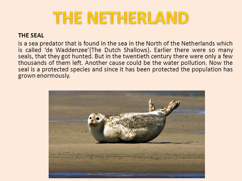 THE SEAL is a sea predator that is found in the sea in the North of the Netherlands which is called de Waddenzee(The Dutch Shallows).