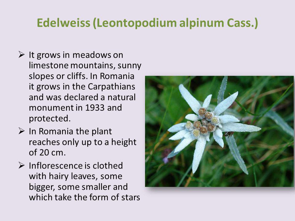 It grows in meadows on limestone mountains, sunny slopes or cliffs.