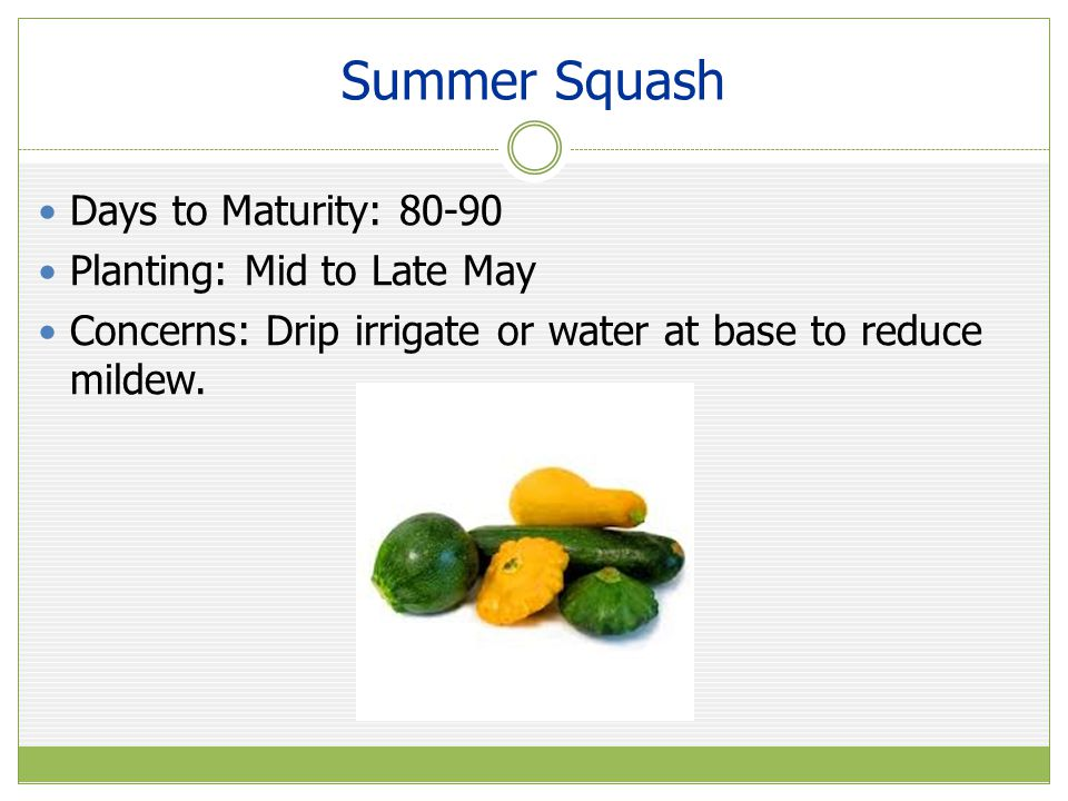 Summer Squash Days to Maturity: 80-90 Planting: Mid to Late May Concerns: Drip irrigate or water at base to reduce mildew.
