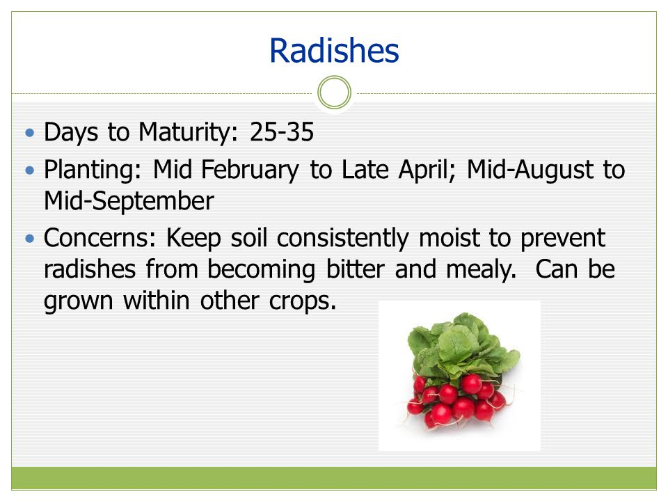 Radishes Days to Maturity: 25-35 Planting: Mid February to Late April; Mid-August to Mid-September Concerns: Keep soil consistently moist to prevent radishes from becoming bitter and mealy.
