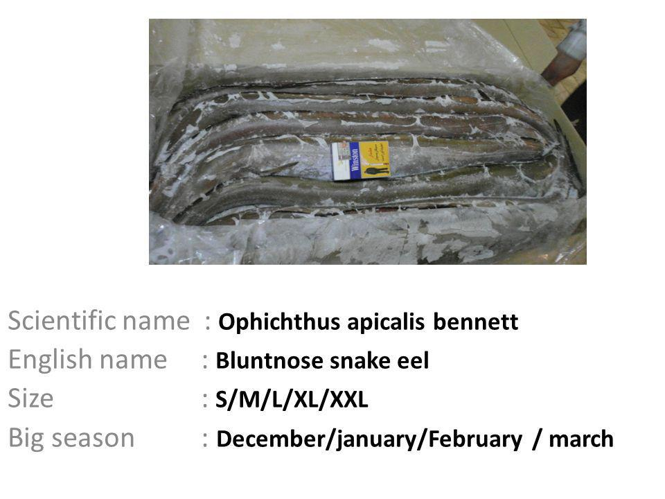 Scientific name : Ophichthus apicalis bennett English name : Bluntnose snake eel Size : S/M/L/XL/XXL Big season : December/january/February / march