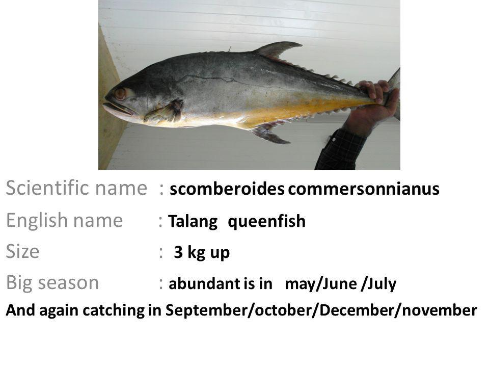 Scientific name : scomberoides commersonnianus English name : Talang queenfish Size : 3 kg up Big season : abundant is in may/June /July And again catching in September/october/December/november