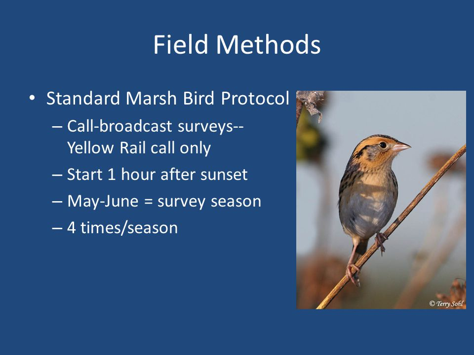 Field Methods Standard Marsh Bird Protocol – Call-broadcast surveys-- Yellow Rail call only – Start 1 hour after sunset – May-June = survey season – 4 times/season