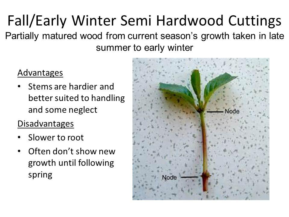 Fall/Early Winter Semi Hardwood Cuttings Partially matured wood from current seasons growth taken in late summer to early winter Advantages Stems are hardier and better suited to handling and some neglect Disadvantages Slower to root Often dont show new growth until following spring