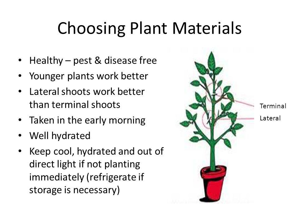 Choosing Plant Materials Healthy – pest & disease free Younger plants work better Lateral shoots work better than terminal shoots Taken in the early morning Well hydrated Keep cool, hydrated and out of direct light if not planting immediately (refrigerate if storage is necessary) Terminal Lateral