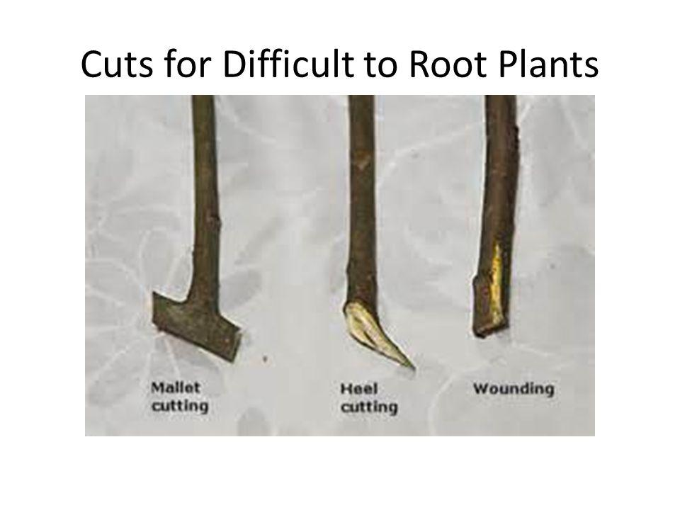 Cuts for Difficult to Root Plants