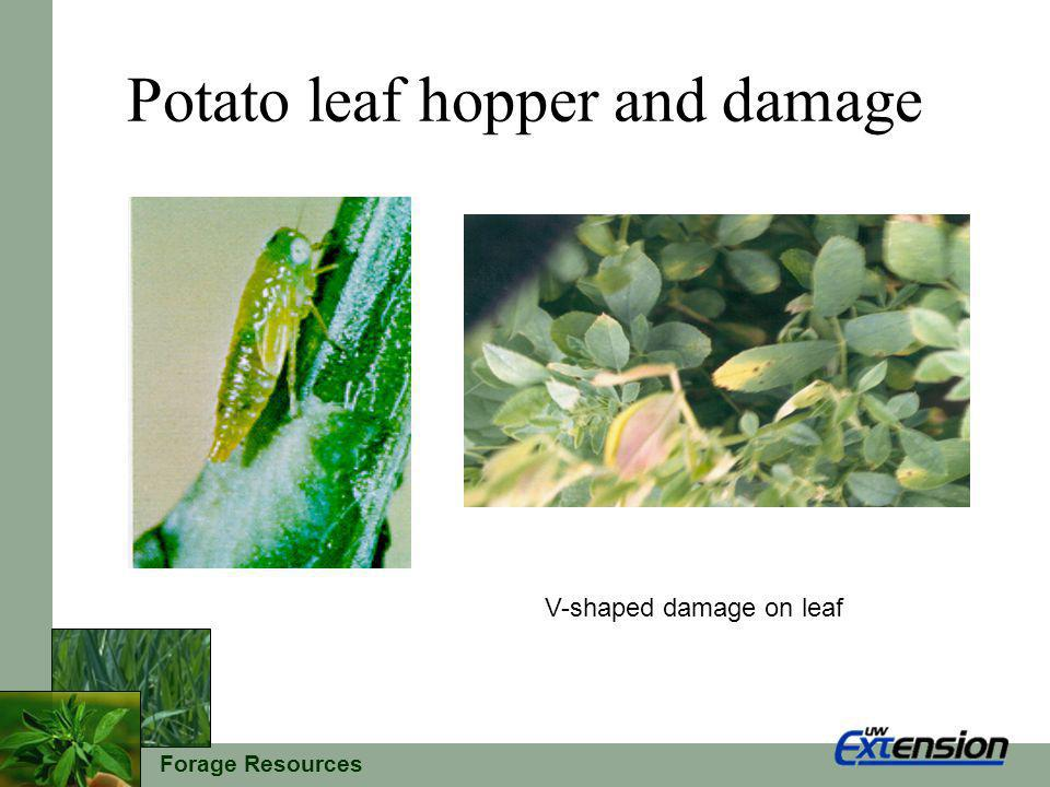 Forage Resources Potato leaf hopper and damage V-shaped damage on leaf