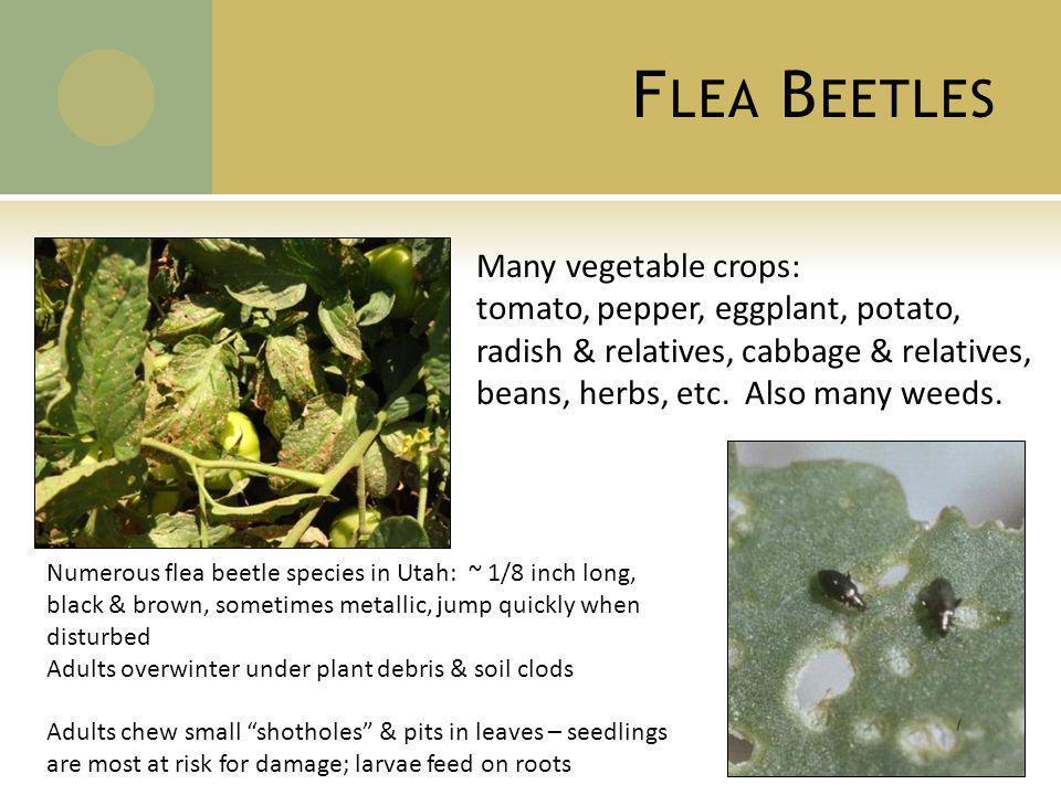 F LEA B EETLES Many vegetable crops: tomato, pepper, eggplant, potato, radish & relatives, cabbage & relatives, beans, herbs, etc.