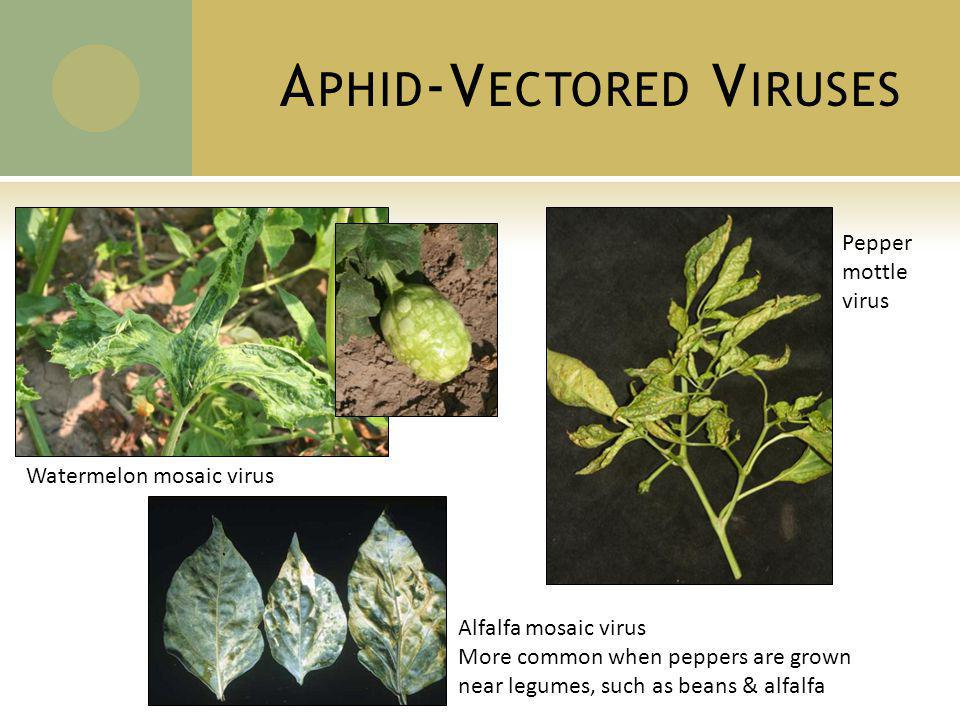 A PHID -V ECTORED V IRUSES Watermelon mosaic virus Pepper mottle virus Alfalfa mosaic virus More common when peppers are grown near legumes, such as beans & alfalfa