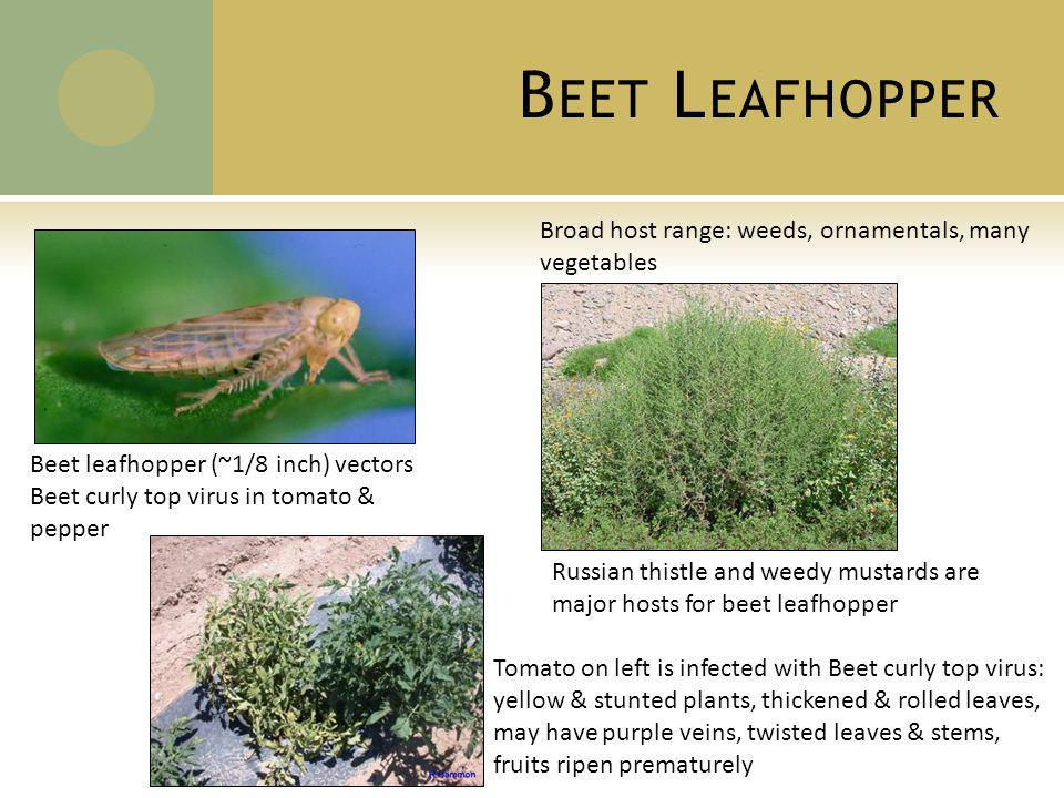 B EET L EAFHOPPER Beet leafhopper (~1/8 inch) vectors Beet curly top virus in tomato & pepper Broad host range: weeds, ornamentals, many vegetables Russian thistle and weedy mustards are major hosts for beet leafhopper Tomato on left is infected with Beet curly top virus: yellow & stunted plants, thickened & rolled leaves, may have purple veins, twisted leaves & stems, fruits ripen prematurely
