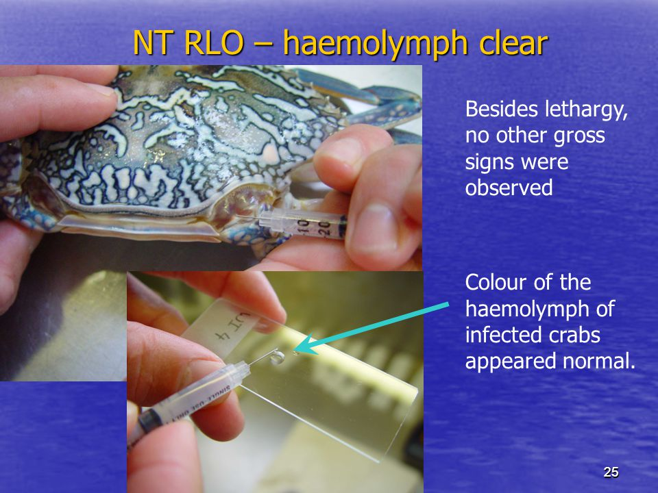 2525 NT RLO – haemolymph clear Besides lethargy, no other gross signs were observed Colour of the haemolymph of infected crabs appeared normal.
