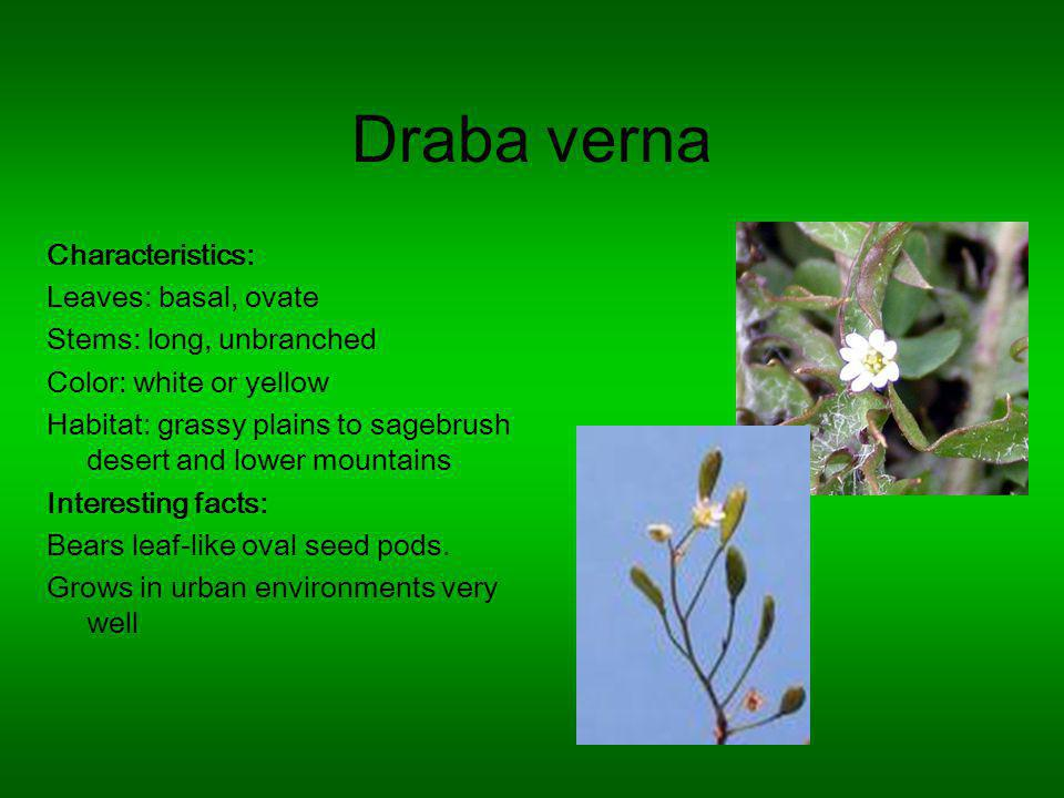 Draba verna Characteristics: Leaves: basal, ovate Stems: long, unbranched Color: white or yellow Habitat: grassy plains to sagebrush desert and lower mountains Interesting facts: Bears leaf-like oval seed pods.