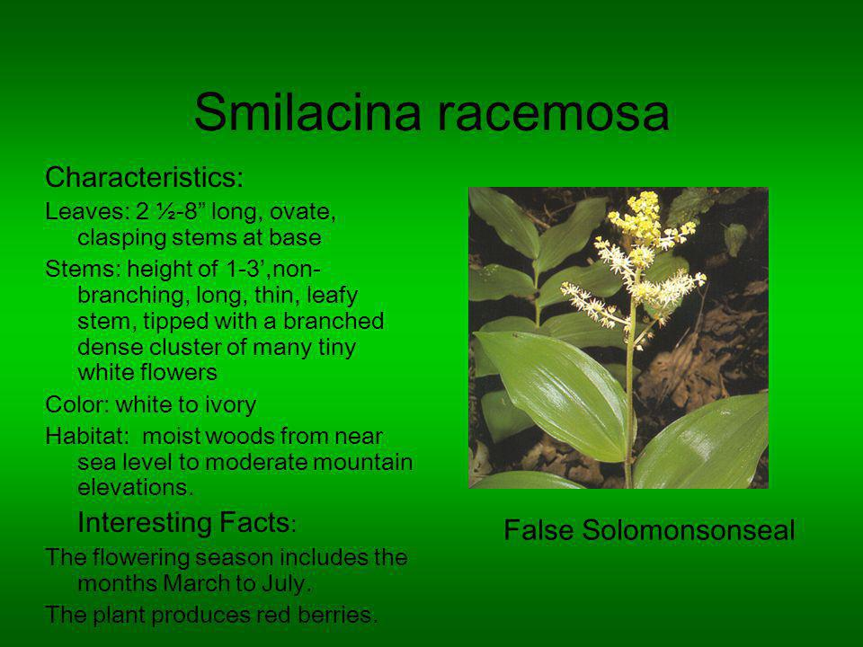 Smilacina racemosa Characteristics: Leaves: 2 ½-8 long, ovate, clasping stems at base Stems: height of 1-3,non- branching, long, thin, leafy stem, tipped with a branched dense cluster of many tiny white flowers Color: white to ivory Habitat: moist woods from near sea level to moderate mountain elevations.