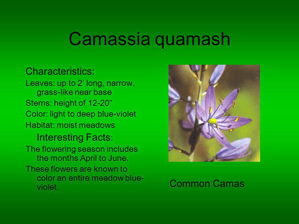 Camassia quamash Characteristics: Leaves: up to 2 long, narrow, grass-like near base Stems: height of 12-20 Color: light to deep blue-violet Habitat: moist meadows Interesting Facts : The flowering season includes the months April to June.
