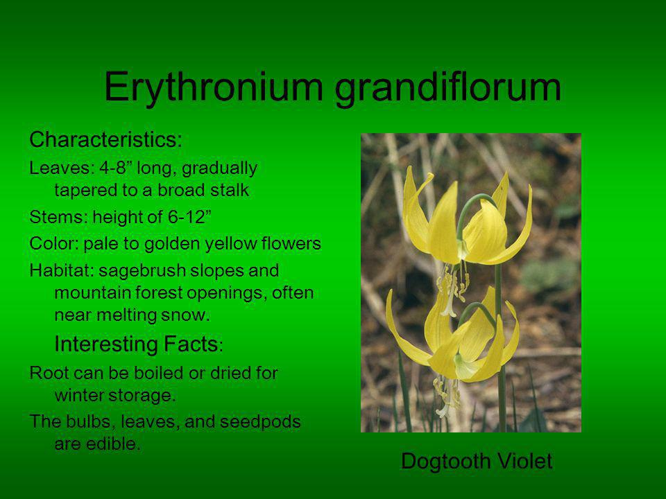 Erythronium grandiflorum Characteristics: Leaves: 4-8 long, gradually tapered to a broad stalk Stems: height of 6-12 Color: pale to golden yellow flowers Habitat: sagebrush slopes and mountain forest openings, often near melting snow.