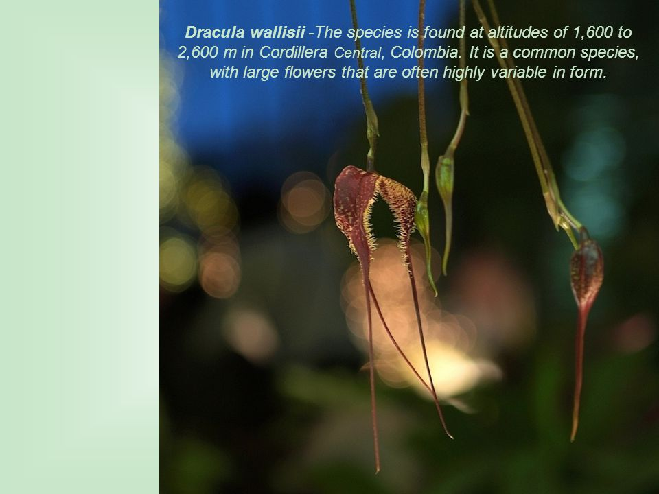 Dracula wallisii -The species is found at altitudes of 1,600 to 2,600 m in Cordillera Central, Colombia.