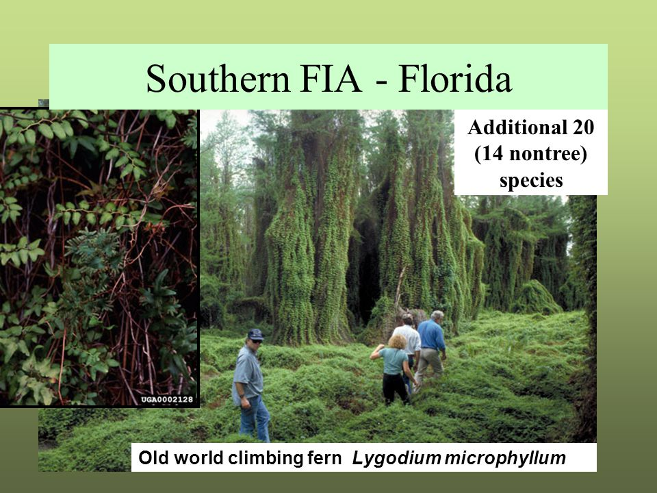 Southern FIA - Florida Additional 20 (14 nontree) species Old world climbing fern Lygodium microphyllum