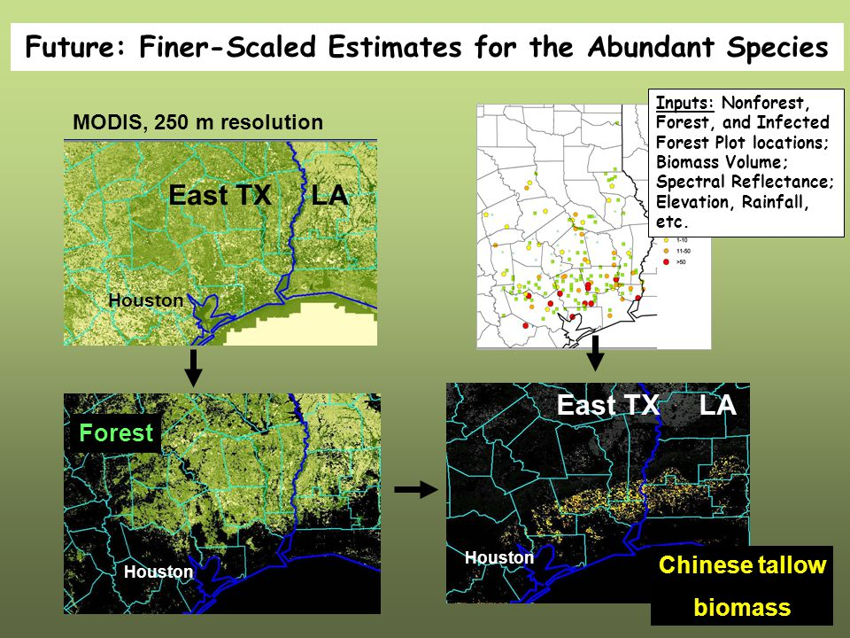 Future: Finer-Scaled Estimates for the Abundant Species MODIS, 250 m resolution East TX LA Houston Forest Houston East TX LA Chinese tallow biomass Inputs: Nonforest, Forest, and Infected Forest Plot locations; Biomass Volume; Spectral Reflectance; Elevation, Rainfall, etc.