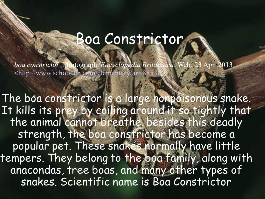 The boa constrictor is a large nonpoisonous snake.