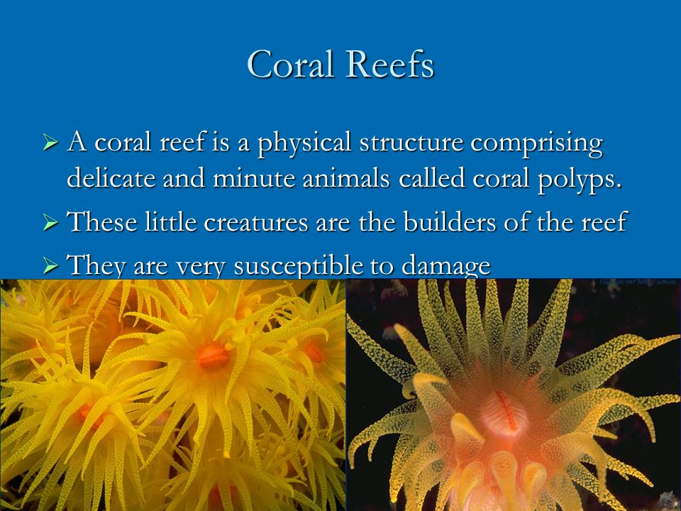 Coral Reefs A coral reef is a physical structure comprising delicate and minute animals called coral polyps.