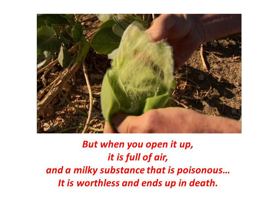 But when you open it up, it is full of air, and a milky substance that is poisonous… It is worthless and ends up in death.