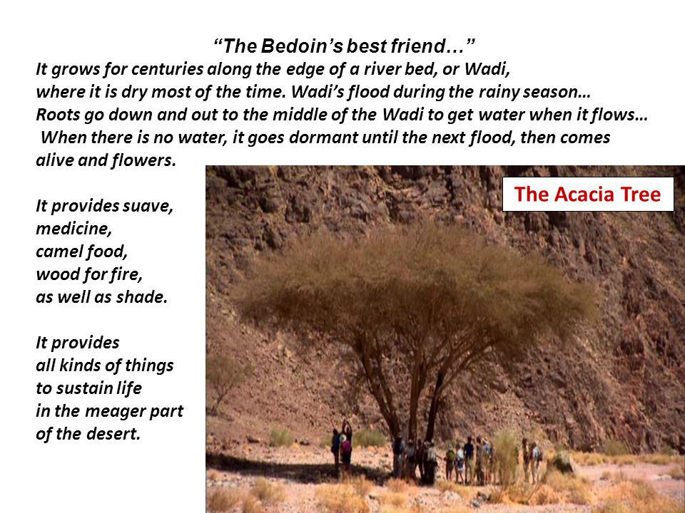 The Bedoins best friend… It grows for centuries along the edge of a river bed, or Wadi, where it is dry most of the time.