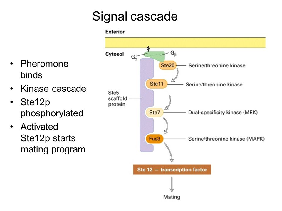 Pheromone binds Kinase cascade Ste12p phosphorylated Activated Ste12p starts mating program Signal cascade