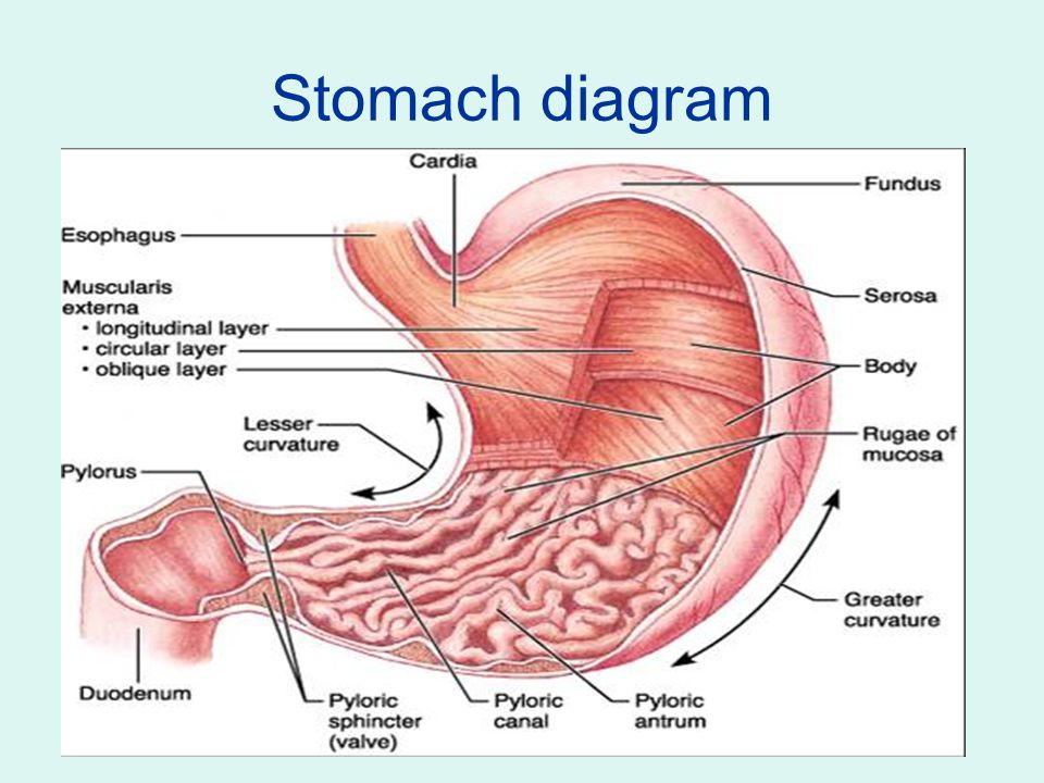 Digestive System Structures Involved In Digestive System The