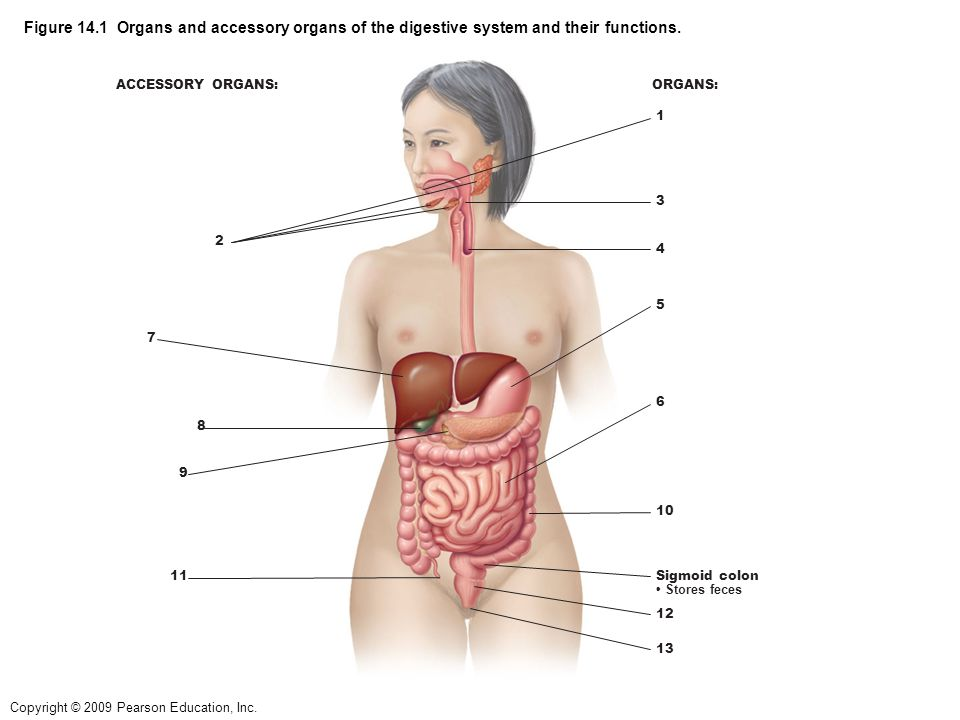 Human digestive system diagram pearson education online schematic copyright 2009 pearson education inc figure 14 1 organs and rh slideplayer com digestive system diagram unlabeled human digestive system diagram 3d ccuart Image collections