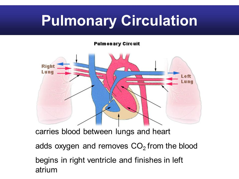 carries blood between lungs and heart adds oxygen and removes CO 2 from the blood begins in right ventricle and finishes in left atrium Pulmonary Circulation