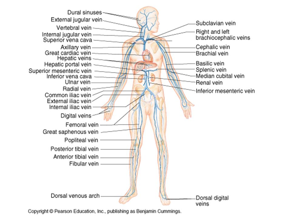 Blood Vessels Human Anatomy Chapter Ppt Video Online Download