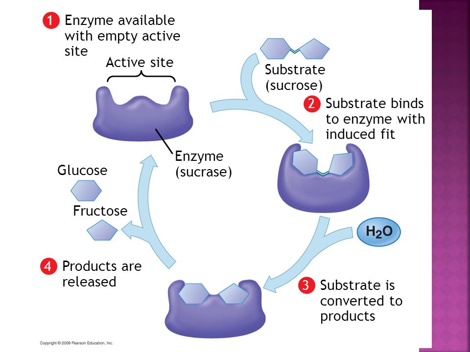 Enzyme available with empty active site Active site 1 Enzyme (sucrase) Substrate binds to enzyme with induced fit 2 Substrate (sucrose) Substrate is converted to products 3