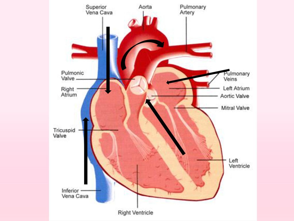 431 heart of the matter ppt video online download draw tubes running from one box to another outside the boxes to show the path of the vessels listed below think about where ccuart Choice Image