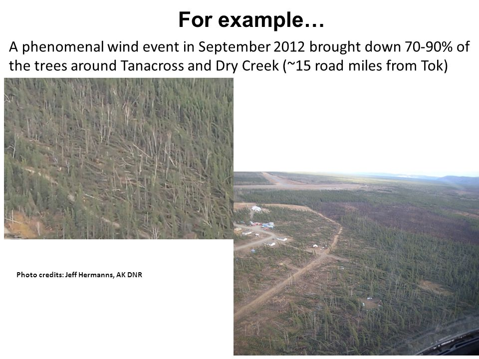 For example… A phenomenal wind event in September 2012 brought down 70-90% of the trees around Tanacross and Dry Creek (~15 road miles from Tok) Photo credits: Jeff Hermanns, AK DNR