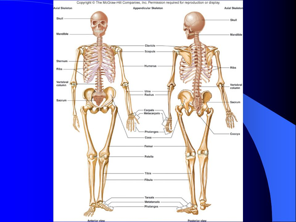 slide_2 appendicular skeleton ppt video online download