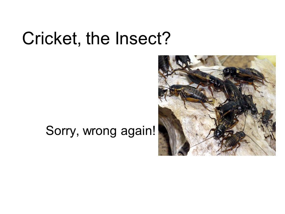Cricket, the Insect Sorry, wrong again!
