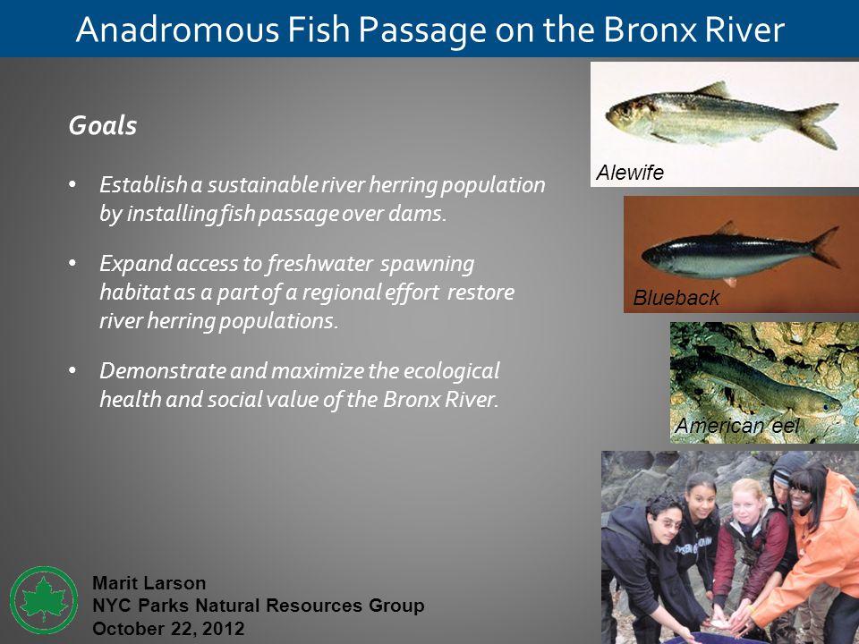 Anadromous Fish Passage on the Bronx River Goals Establish a