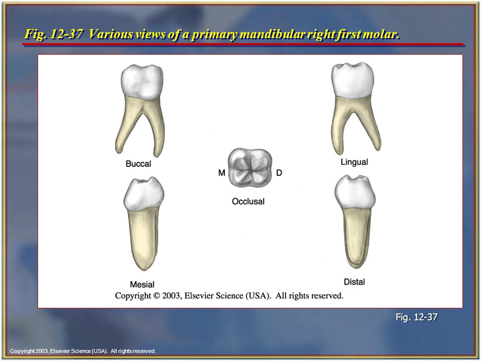 Chapter 12 Tooth Morphology Copyright 2003 Elsevier Science Usa