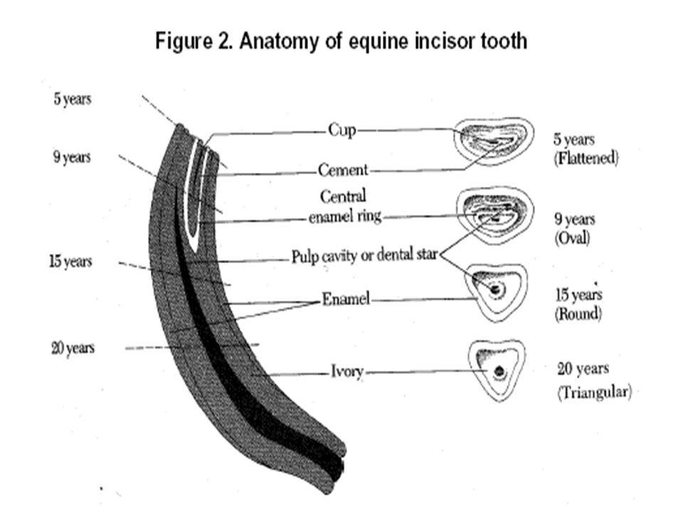 Horse Teeth Diagram 15 Years - Circuit Wiring And Diagram Hub •