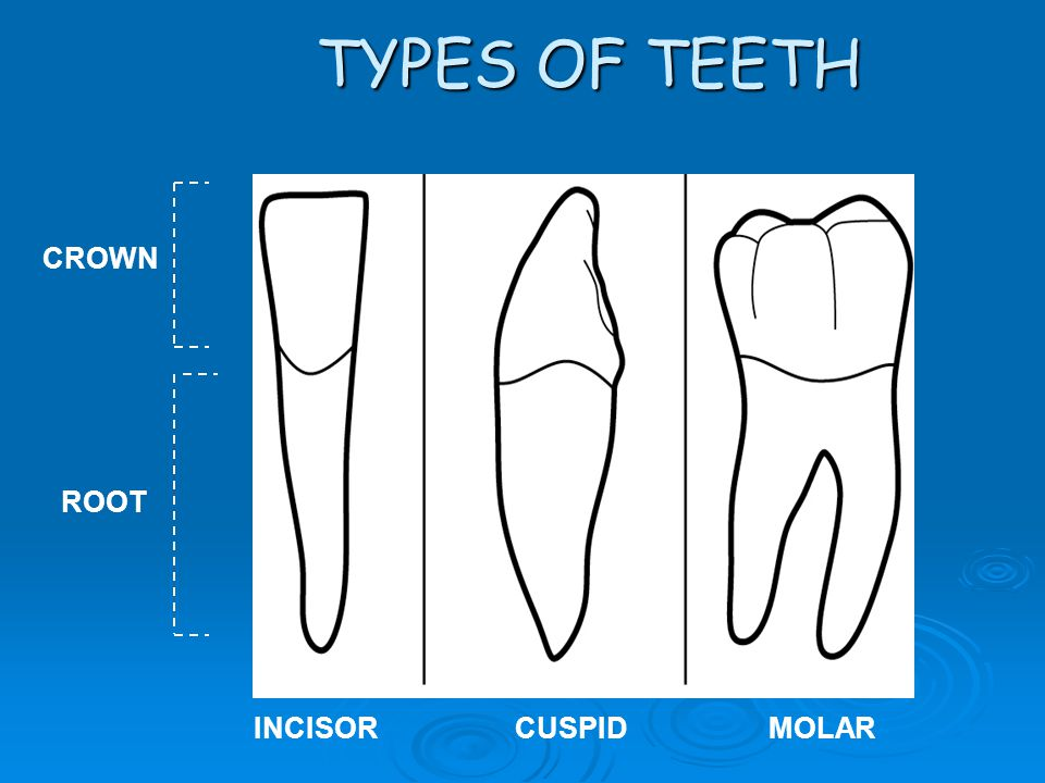 INCISORCUSPIDMOLAR CROWN ROOT TYPES OF TEETH